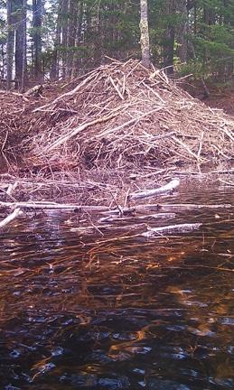 A very cool beaver dam