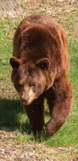 Brown Bear at Maine Wildlife Park