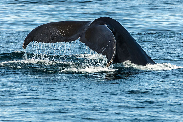 How to Photograph Whales and Other Elusive Wildlife, Michael Leonard